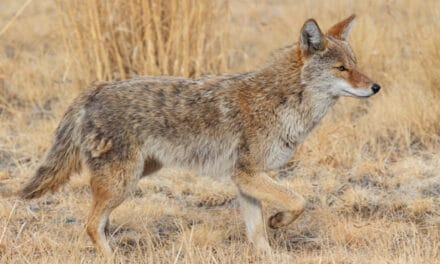 Best cartridges and calibers for hunting coyote