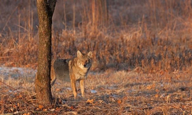 Montana Coyote Hunting Guide: Laws, tips, and where to hunt