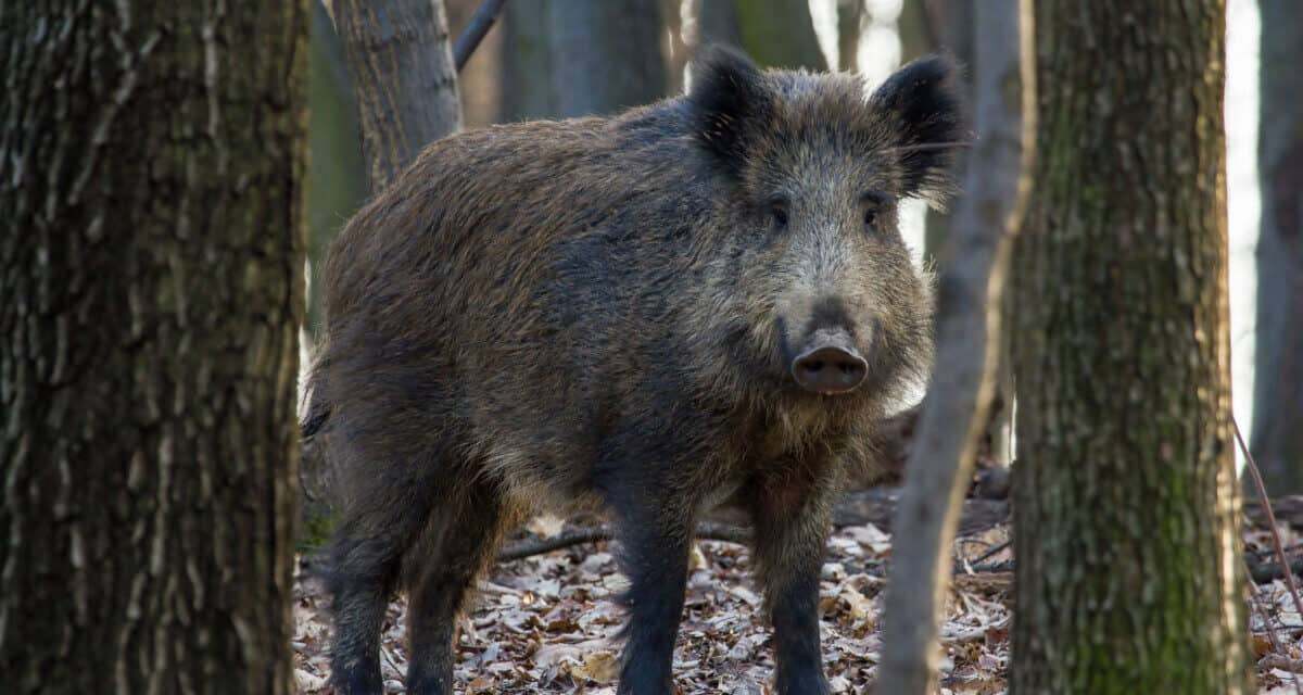 5 Reliable Spots for Hunting Hogs in Alabama