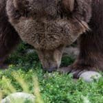 .45 ACP for Bear Protection: Best ammo, and if it's enough