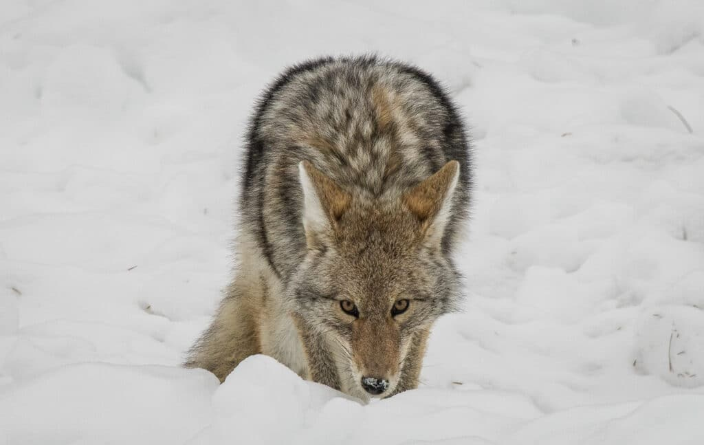 Coyote looks at the camera as photographed by Jim Harmer.