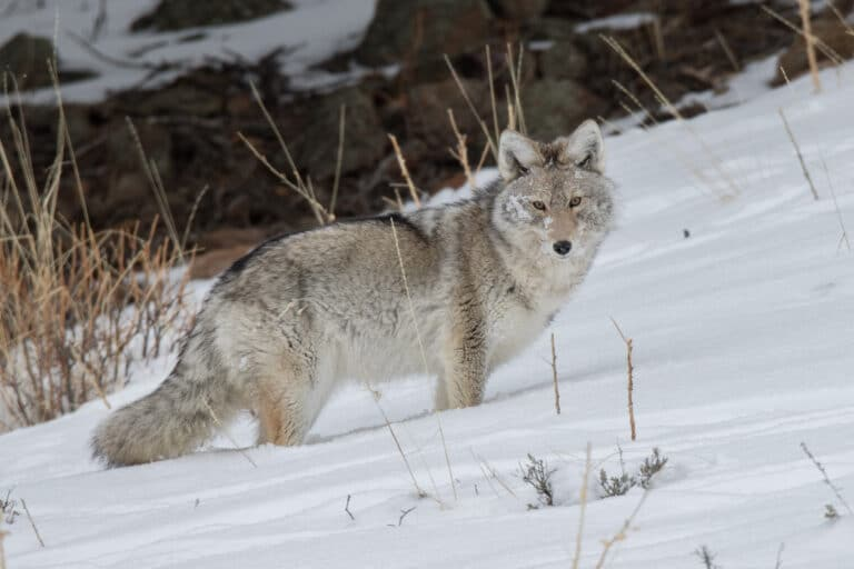 Coyote Hunting Gear: Buyer's guide and my exact gear list