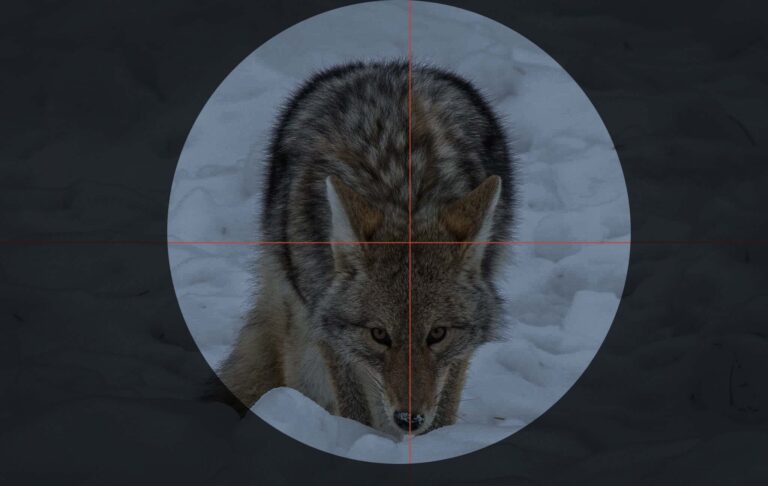 Hunting Coyotes at Night: My guide to consistent success